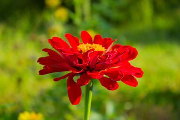 Red Zinnia flower in a garden