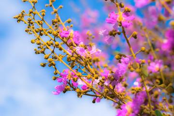 pride of india flower