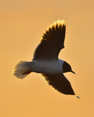 Black-headed Gull (Larus ridibundus) flying on sunset natural background