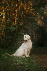 Golden retriever in the woods