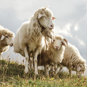 sheep in the pasture in the mountains