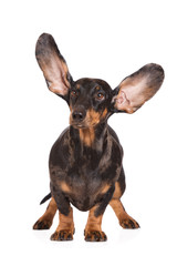 funny dachshund dog with ears up in the air