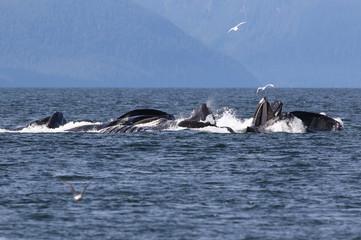Foto op Aluminium Dolfijn Humpback Whales Bubble Net Feeding