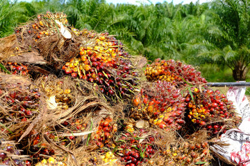 fresh palm fruits, raw material for vegetable oil and bio diesel