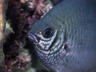White-belly damsel fish, Weissbauch-Riffbarsch (Amblyglyphidodon leucogaster)