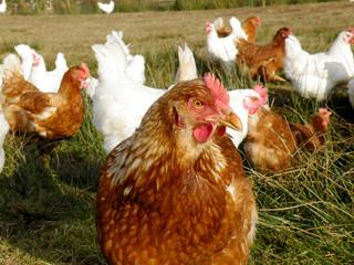 Braune Henne auf der Weide