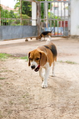 beagle candid