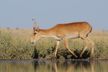 Poster de jardin Antilope Wild male Saiga antelope near watering in steppe
