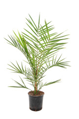 date fruit palm tree isolated..