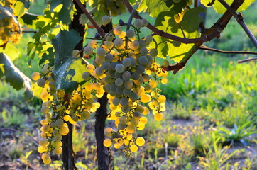 Homegrown bunches of white grapes with green leaves on vineyard