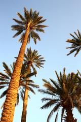 Maroc, Sahara, les palmiers 1