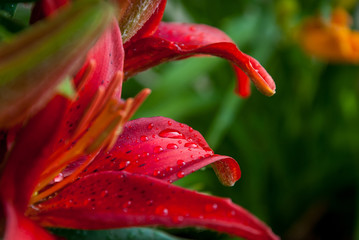 Dew on Red Lily