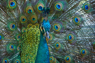 Peacock with beautiful colorful tail