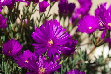 Lampranthus roseus, fleur violette