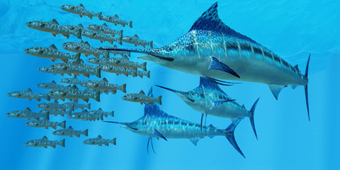 Marlin after a Fish School