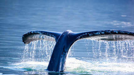 Humpback Whale (Megaptera novaeangliae) tail, Juneau, Alaska