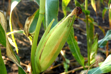 Green corn fruit on its plant photo image