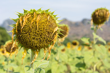 Sunflower Droop