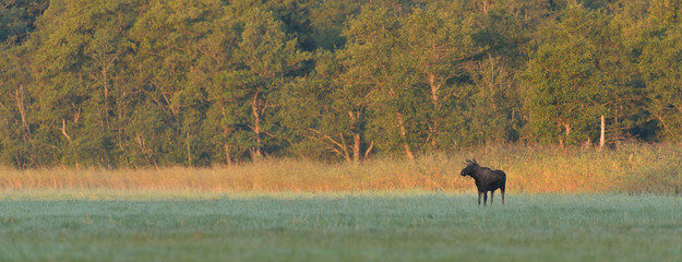 moose bull in the meadow at sunrise
