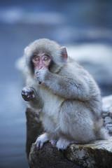 Small Japanese snow monkey at hot spring in Jigokudani Park