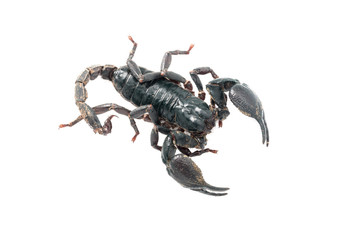 Giant forest scorpion species found in tropical and subtropical