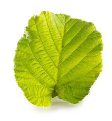 hazelnut leaf isolated on the white background