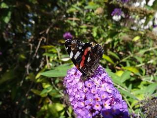 Vulcain posé sur lilas avec ses ailes fermées.