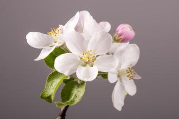 Apple flowers on branch