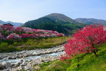 Flowering peach at Gessen Onsen in Achi, Nagano, Japan