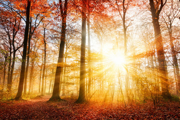 Wall Mural - Beautiful autumn sunlight in a forest