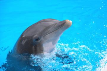 Fototapeta Śmiejący się delfin w Loro Park na Teneryfie  obraz