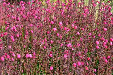 Irische Glockenheide rosa