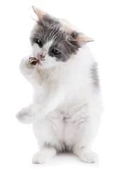 Domestic cat eating bug isolated on white background