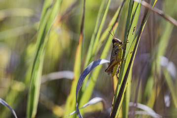 Lakin Grasshopper on Fence (Melanoplus lakinus)