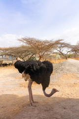 Ostrich in National Park in Ethiopia.