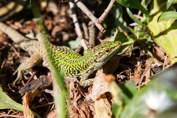 green and yellow lizard