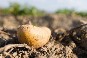 Kartoffelernte, Kartoffeln, Biokartoffeln