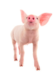 Pig on a white background. A series of photos pigs in different poses.