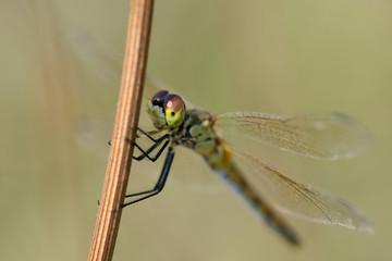 Ritratto di libellula