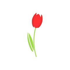 Red tulip on a white background. Vector illustration.