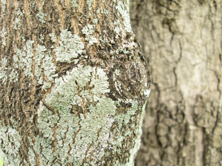 Closeup lichen on the bark