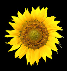 Sunflower isolated. A series of images of sunflowers.