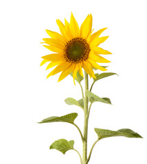 A single sunflower isolated on a white background