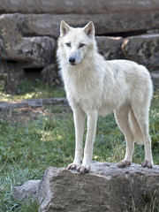loup blanc debout sur la roche