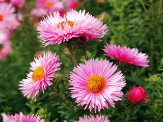 Asterblüte