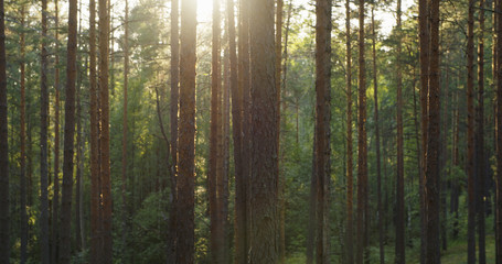 pine forest in warm summer day Wall mural