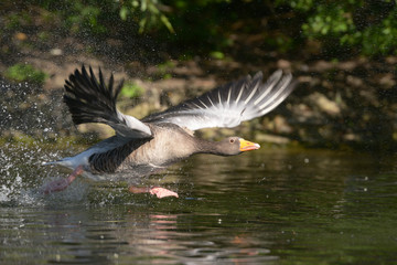 Greylag Goose in the flight.