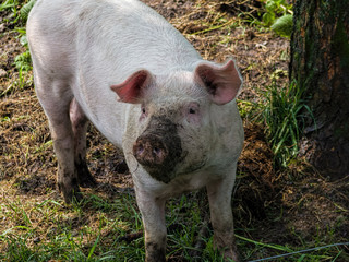 Pig in a natural outdoor farm setting with some earth and mud on its snout or nose.