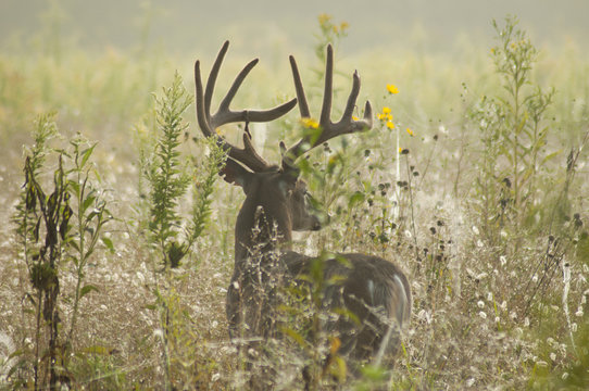 Large antlered White-Tailed Deer in field of grass in Cades Cove.