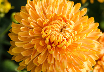 autumn flower, orange chrysanthemums